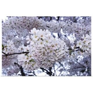 Poster Print entitled Cherry Blossoms, Washington DC - Multi-color