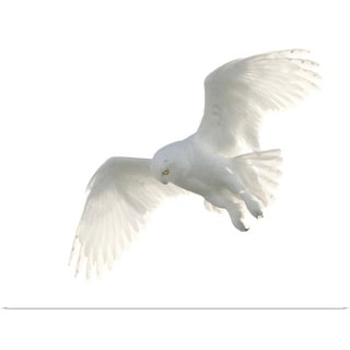 """""""Wild male snowy owl flying against white sky background, Payton, Colorado."""" Poster Print"""
