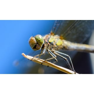 Dragonfly Insect Photograph Wall Art Canvas