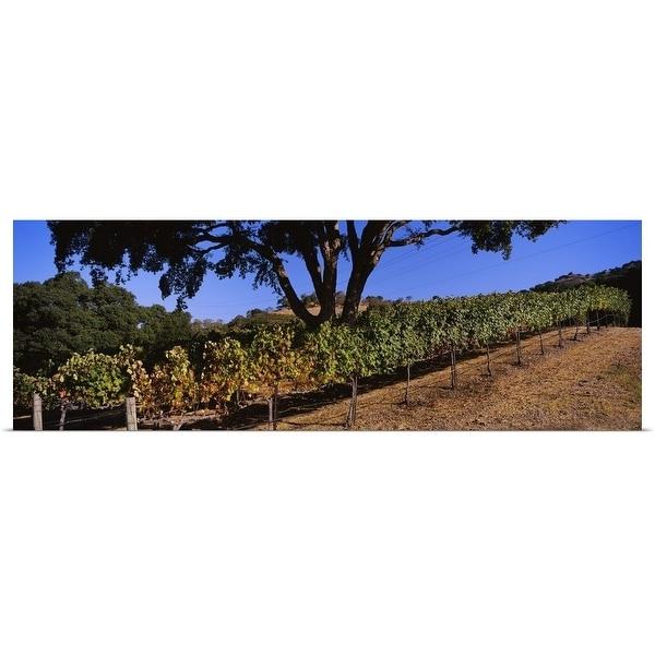 """Grape vines in a vineyard, Napa Valley, Napa County, California"" Poster Print"