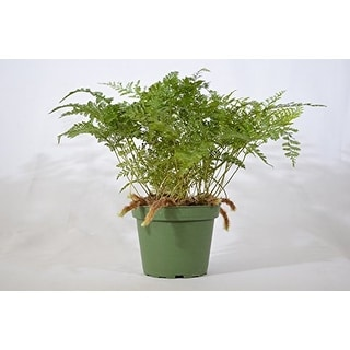 9GreenBox - Live Brown Rabbit's Foot Fern - 4'' Pot