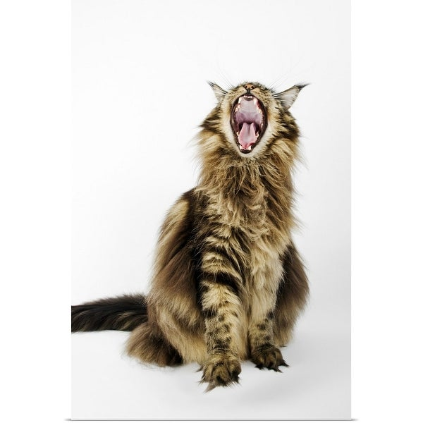 """""""Domestic cat, brown classic Maine Coon Tabby."""" Poster Print"""