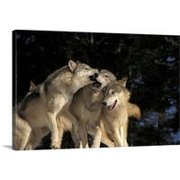 Premium Thick-Wrap Canvas entitled Group of Wolves Playing in Canada