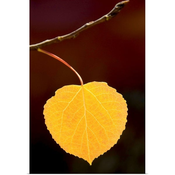 """""""Fall colored yellow aspen leaf in perfect condition with out of focus dark background"""" Poster Print"""