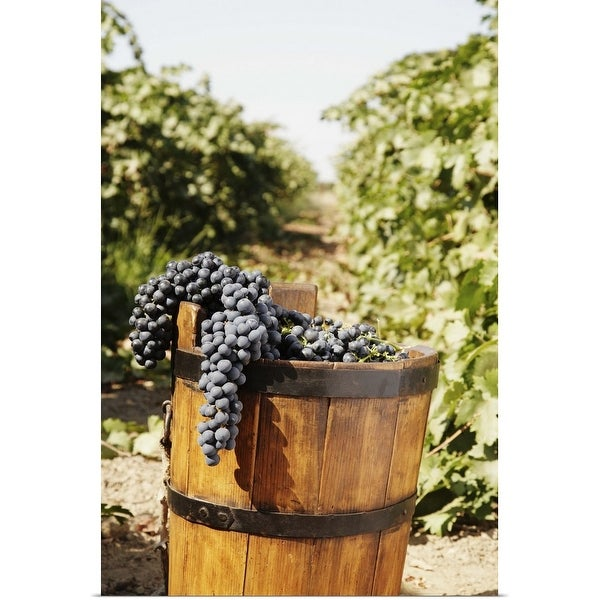 """Red grapes in antique basket in vineyard"" Poster Print"