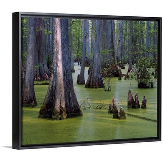 Shop Bald Cypress Trees Taxodium Distichum Growing In