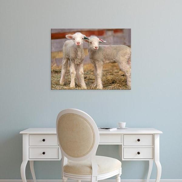 Easy Art Prints Chuck Haney's 'Pair Of Commercial Targhee Lambs' Premium Canvas Art