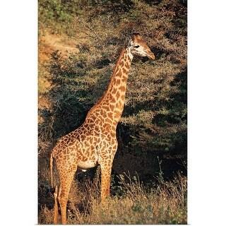 """Masai giraffe , Lake Manyara , Tanzania"" Poster Print"