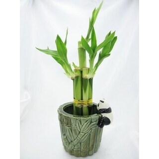 9GreenBox - Lucky 'Bamboo' with Ceramic Panda Vase