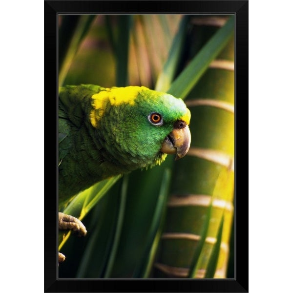 """Yellow-naped amazon parrot on perch, portrait profile, Roatan, Honduras."" Black Framed Print"