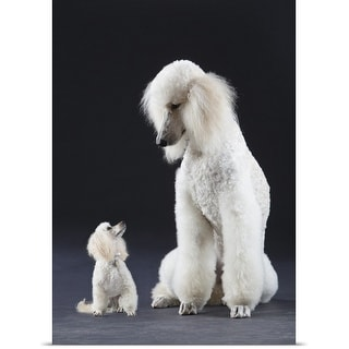 Poster Print entitled Small and large white Poodle
