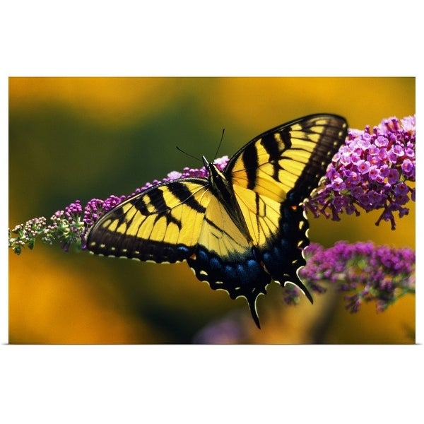 """""""Male Tiger Swallowtail Butterfly On Blooming Purple Flower"""" Poster Print"""