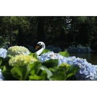 Swan And Pond Photograph Art Print