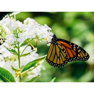 Butterfly On White Flowers Canvas Wall Art Photograph