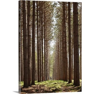 Premium Thick-Wrap Canvas entitled Grove of tall pine trees