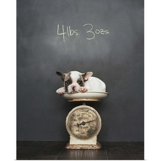 """""""French bulldog puppy lying on scale"""" Poster Print"""
