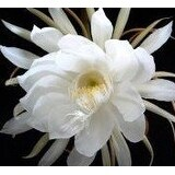 2 Epiphyllum Orchid Cactus Night Blooming Cereus Cutting