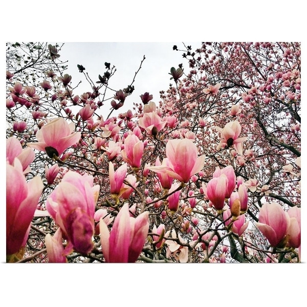 Shop Flowering Magnolia Trees In New York Citys Central Park During