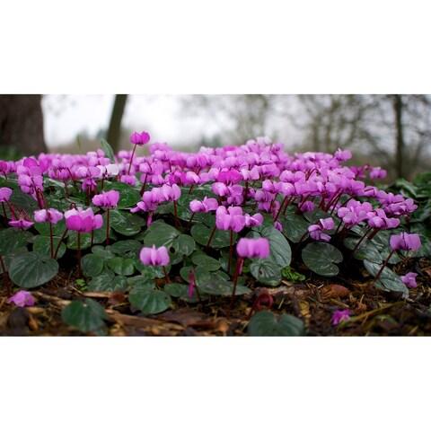 Persian Violets / Cyclamen Coum Bulbs - 6 Count