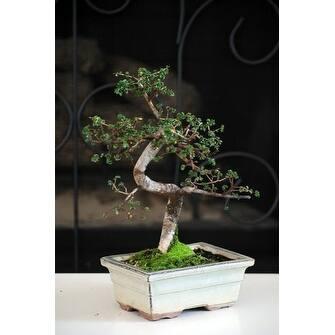 Chinese Elm Bonsai Tree Overstock 17825057