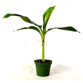 Dwarf Patio Banana Plant