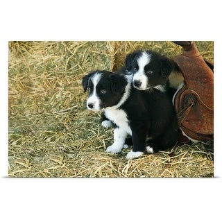 Poster Print entitled Border Collie puppies