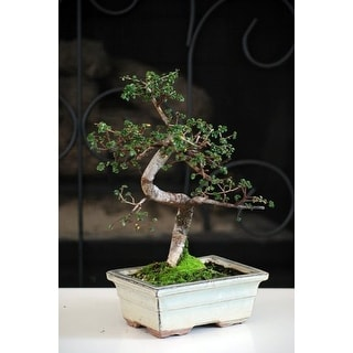 "9GreenBox - 10 Year Old Chinese Elm Bonsai with 8"" Ceramic Vase"