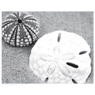 ''Sand Dollar and Sea Urchin'' by Anon Coastal Art Print (11.5 x 14.5 in.)