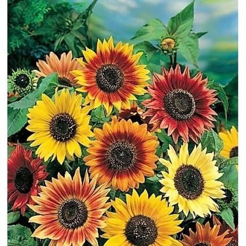 Autumn Beauties Sunflower Pre-Seeded Mat - 3 Mats with Garden Shovel