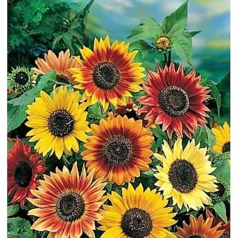 Giant Sunflower Pre-Seeded Mat with Soil & Plant Food