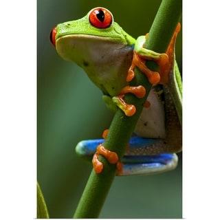 """Costa Rica, Monteverde, Red-Eyed Tree Frog (Agalychnis callidryas)  in captivity"" Poster Print"