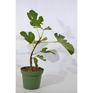 "9GreenBox - Chicago Edible Fig - 4"" Pot"