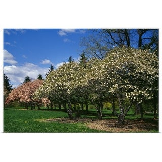 """""""Row of magnolia trees blooming in spring, New York"""" Poster Print"""
