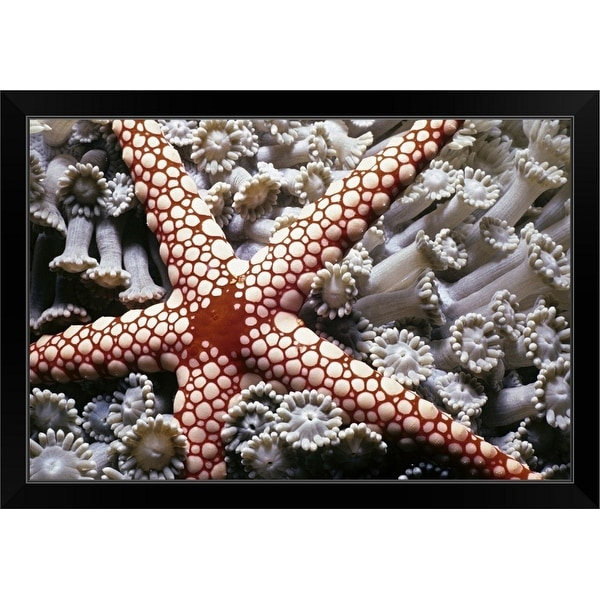"""""""Candy Cane Starfish on soft coral. Red Sea"""" Black Framed Print"""