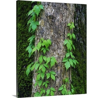 """Poison ivy vine on tree trunk, Kistachie National Forest, Louisiana"" Canvas Wall Art"