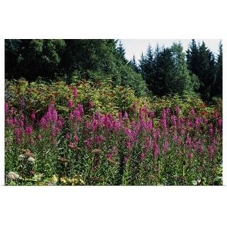 """Pink fireweed wildflowers (Epilobium angustifolium) in bloom, Alaska"" Poster Print"