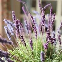 "RusticReach Silk Provence Lavender Stem in Purple and Pink Purple 21"" Tall"