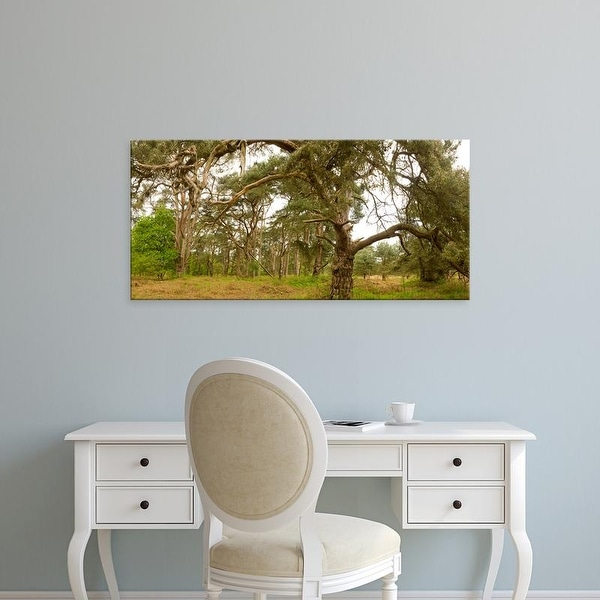 Easy Art Prints Panoramic Images's 'Scots Pines trees, East Wretham Heath, Breckland, Norfolk, England' Canvas Art