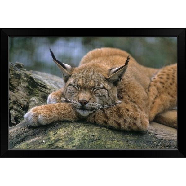 """Eurasian lynx (Lynx lynx)"" Black Framed Print"