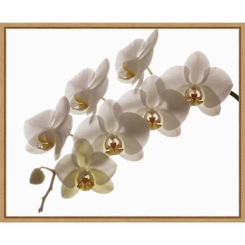 Hybrid white orchid by Rick A Brown Danita Delimont Framed Canvas Art
