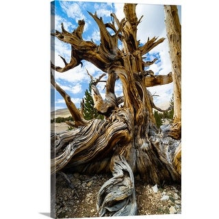"""Details of Pine tree, Ancient Bristlecone Pine Forest, White Mountains, California"" Canvas Wall Art"