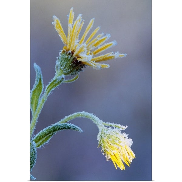 """""""Frost on sunflower blossoms, soft focus close up, Michigan"""" Poster Print"""