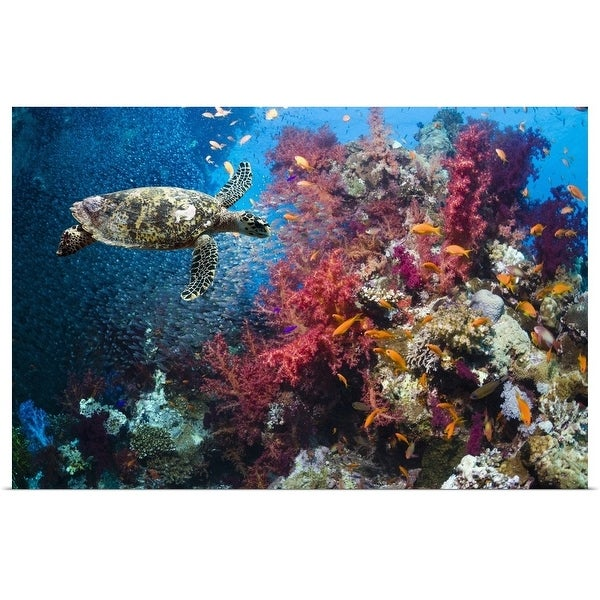 """""""Hawksbill turtle swimming in near the coral reef"""" Poster Print"""