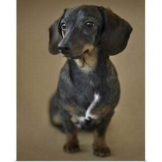 """""""A young Dachshund"""" Poster Print"""