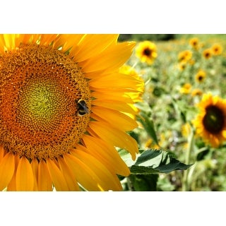Sunflower And Bee Photograph Wall Art Canvas