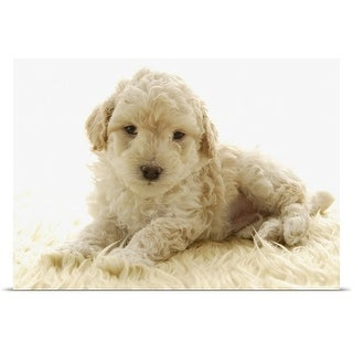 Poster Print entitled Poodle puppy