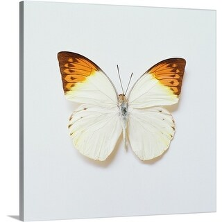 Premium Thick-Wrap Canvas entitled Great Orange Tip Butterfly, found in Asia (5 options available)