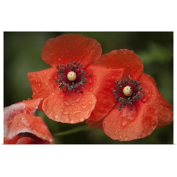 """""""Red Shirley poppy flowers after rain"""" Poster Print"""