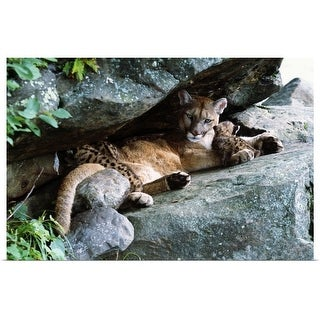 """""""Female cougar lying under rock overhang with cubs, Minnesota"""" Poster Print"""