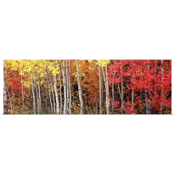 """""""Aspen and Black Hawthorn trees in a forest, Grand Teton National Park, Wyoming"""" Poster Print"""
